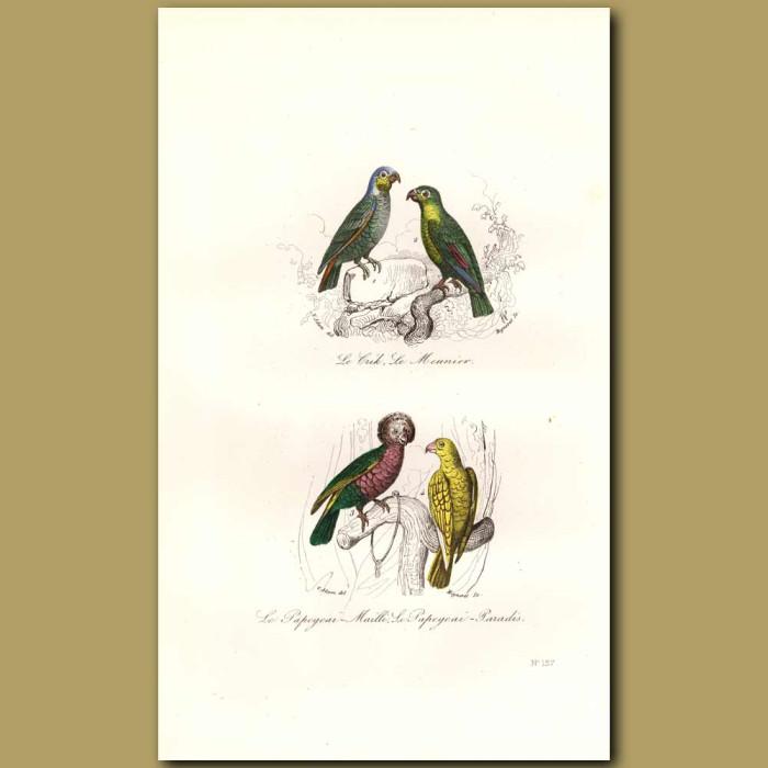 Antique print. Blue-Crowned Parrot, Red Fan Parrot, Paradise Parrot