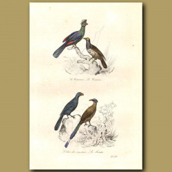 Crested Curassow And Cuckoo
