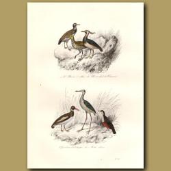 Plover And Water Blackbird