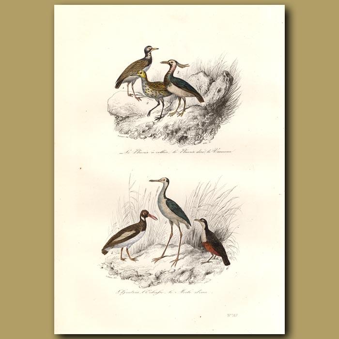 Antique print. Plover and Water Blackbird