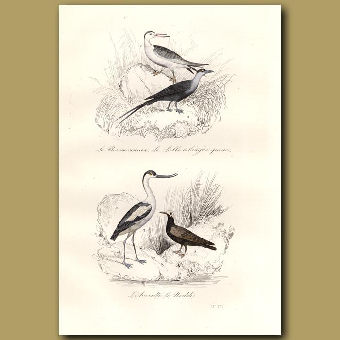 Antique print. Skua, Avocet and Noddy