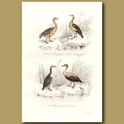 Egyptian Geese And Eider Ducks
