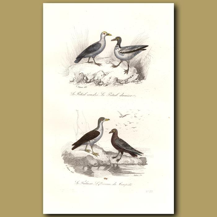 Antique print. Petrel and Fulmar