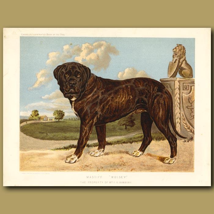 Antique print. Mastiff
