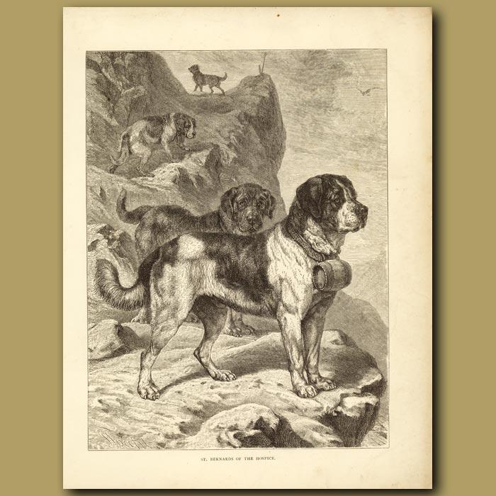 Antique print. St Bernards