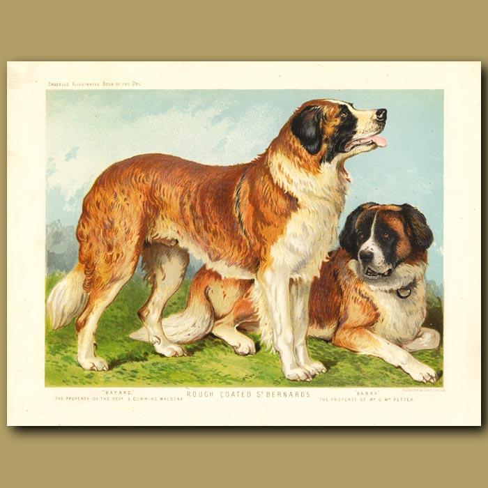 Antique print. Rough Coated St. Bernard