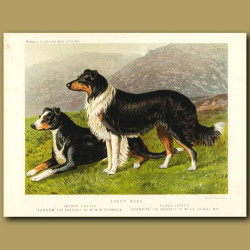 Sheep Dogs - Smooth and Rough Coated Collies