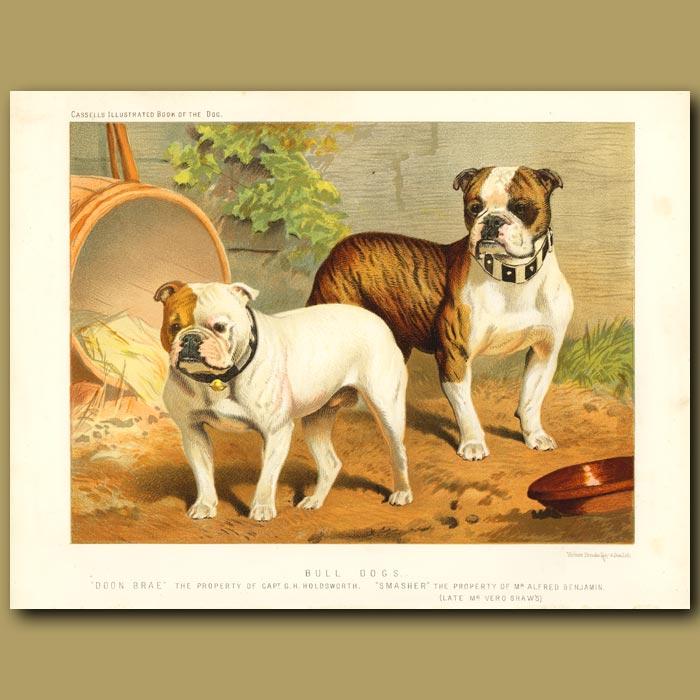 Antique print. Bull Dogs