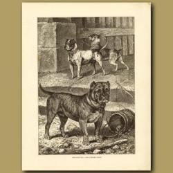 Original Bull and Terrier Cross