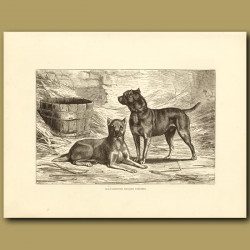 Old Fashioned English Terriers