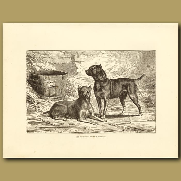 Antique print. Old Fashioned English Terriers