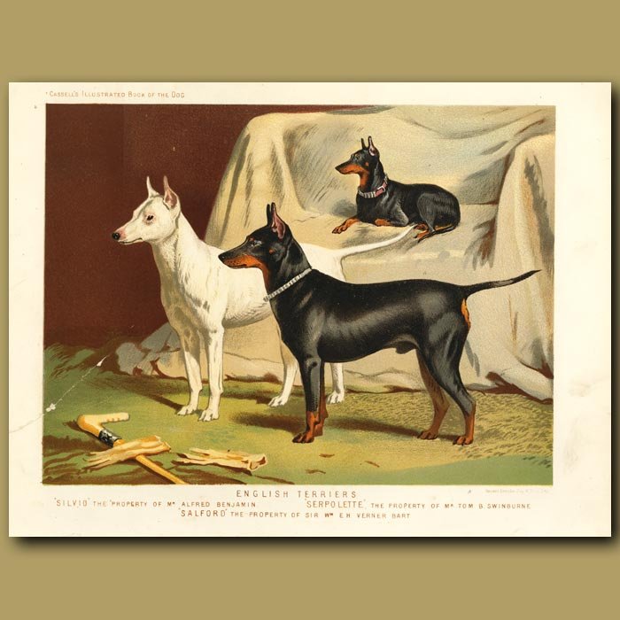 Antique print. English Terriers 'Silvio' property of Mr Alfred Benjamin, 'Serpolette' property of Mr Tom Swinburne and 'Salford' property of Sir Wm E.H Verner, Bart
