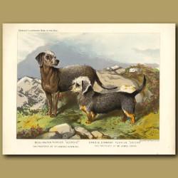 Bedlington Terrier and Dandie Dinmont Terrier