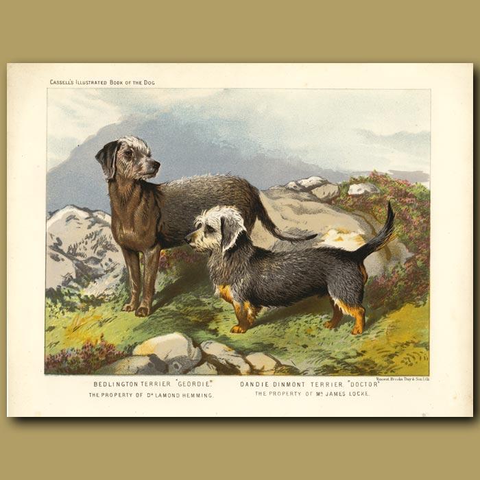 Antique print. Bedlington Terrier and Dandie Dinmont Terrier