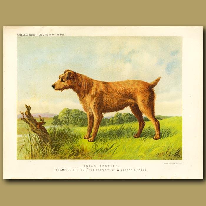Antique print. Irish Terrier