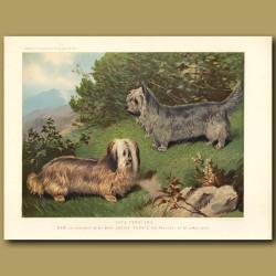 Skye Terriers - Drop and Prick Eared