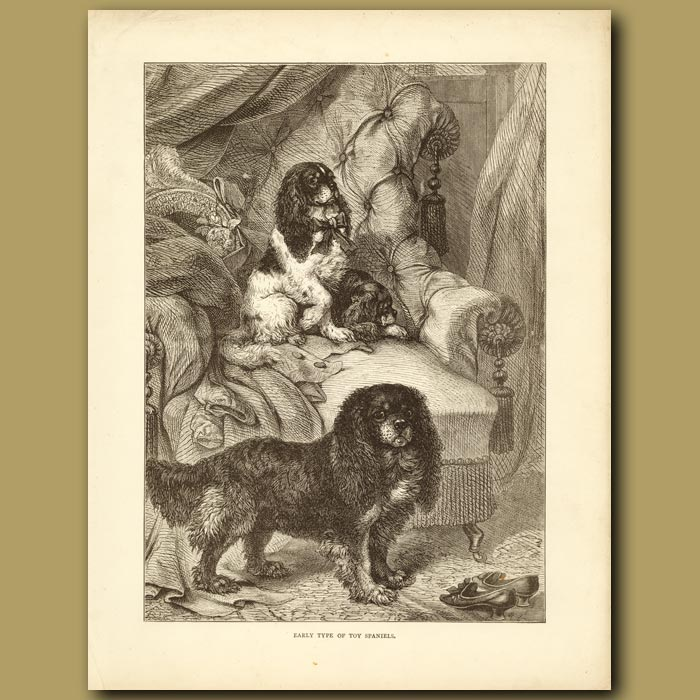 Antique print. Early Type of Toy Spaniels