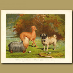 Yorkshire Terrier, Italian Greyhound and Pug