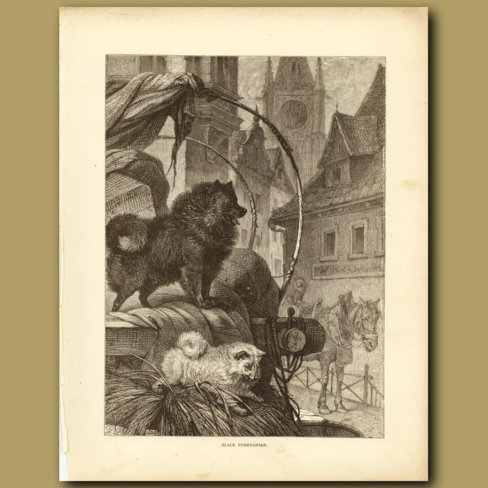 Antique print. Black Pomeranian
