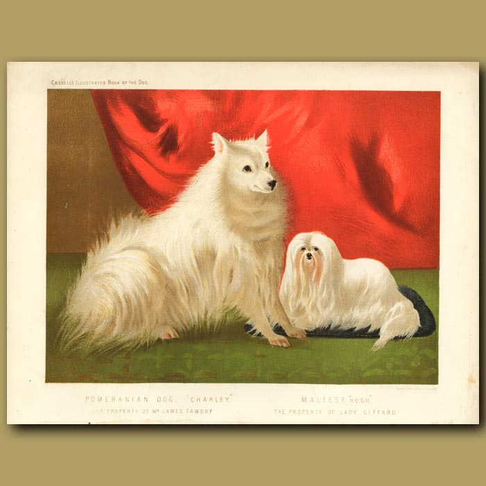 Antique print. Pomeranian Dog and Maltese Dog