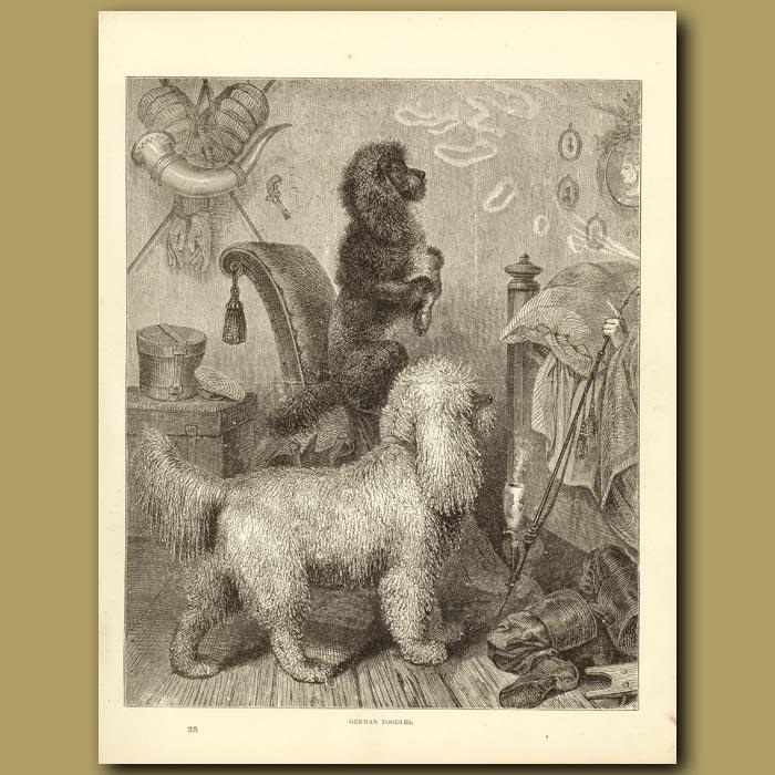 Antique print. German Poodles