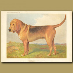 Bloodhound 'Don', the property of Mrs Humphries