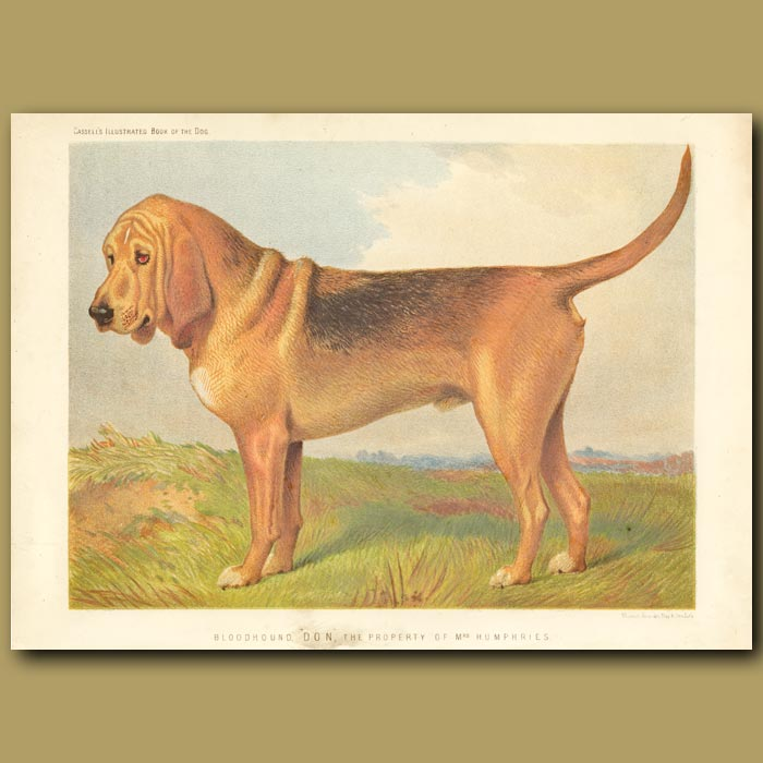 Antique print. Bloodhound 'Don', the property of Mrs Humphries