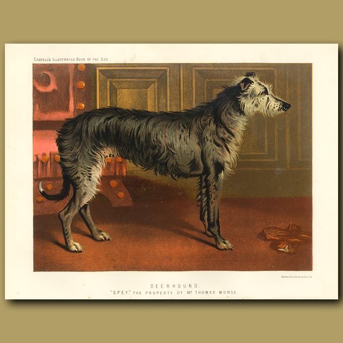 Antique print. Deerhound