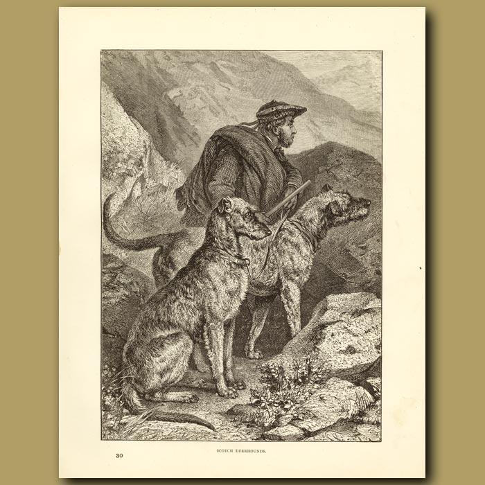 Antique print. Scotch deerhounds