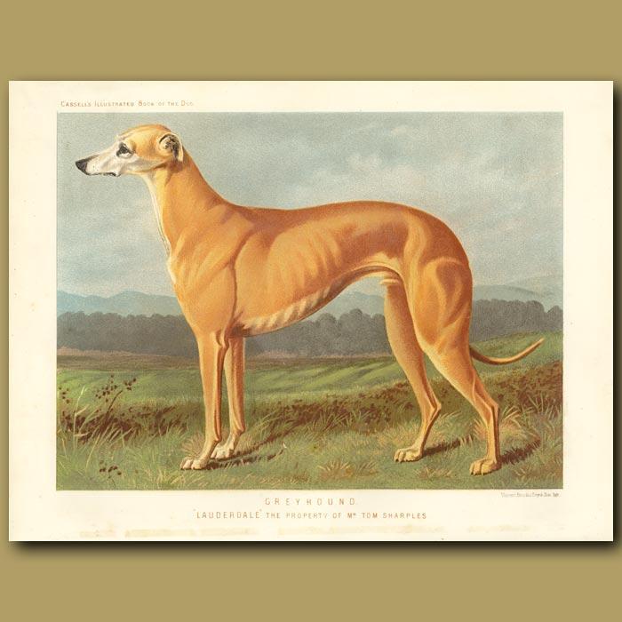 Antique print. Greyhound