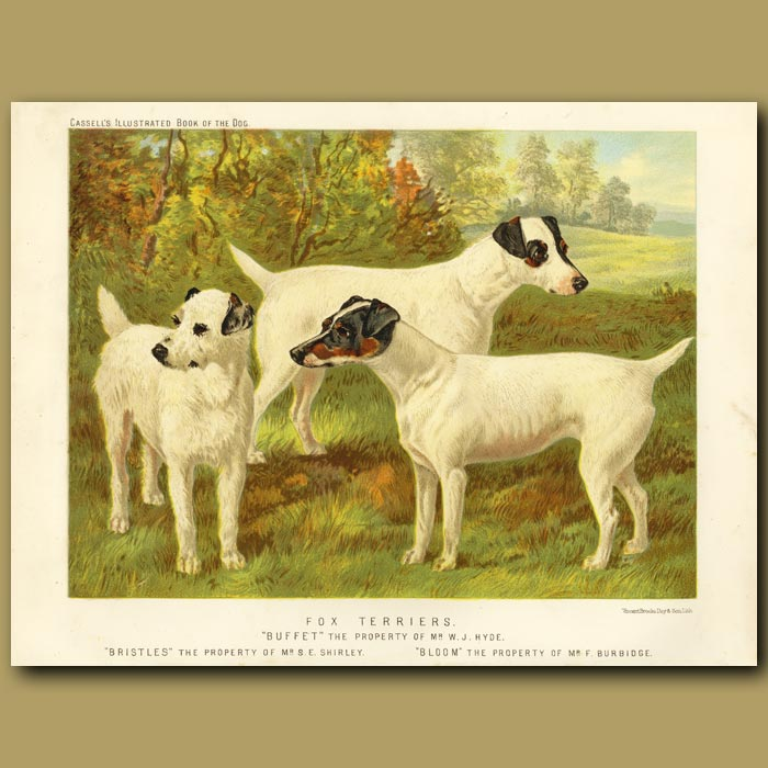 Antique print. Fox Terriers - Wire Haired and Smooth
