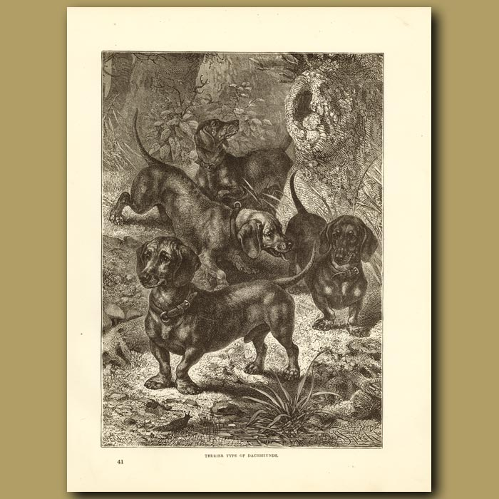 Antique print. Terrier Type of Dachsunds