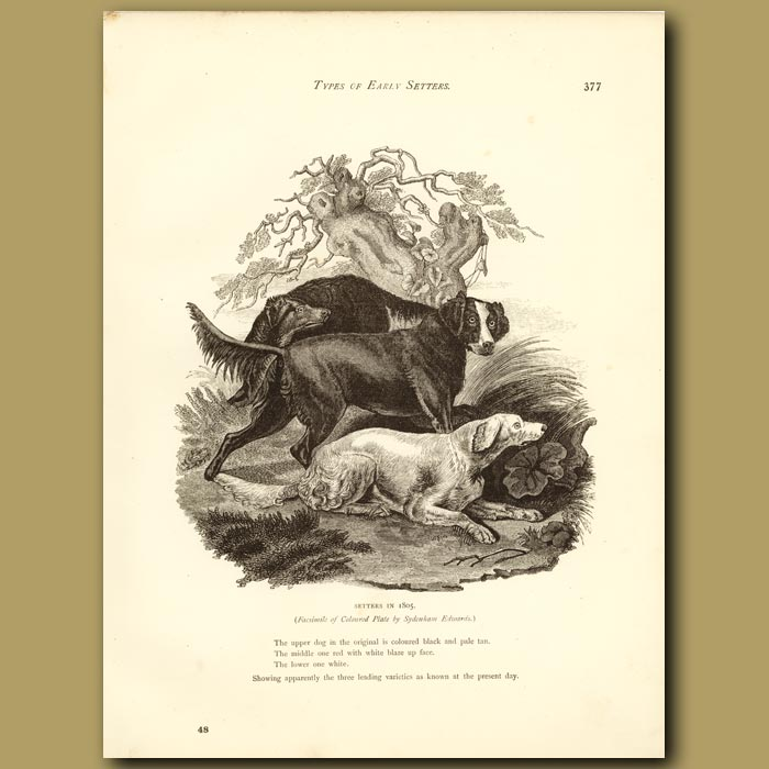 Antique print. Setters in 1805