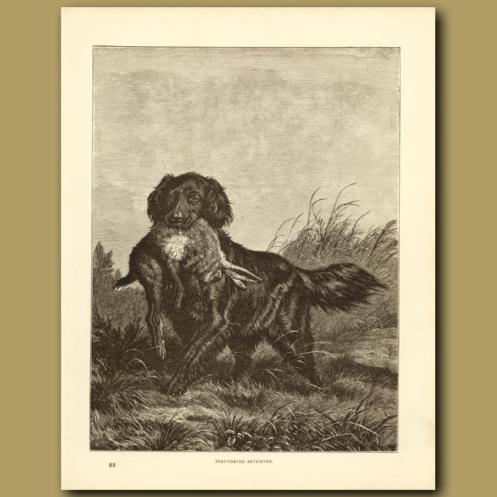 Antique print. Flat Coated Retriever