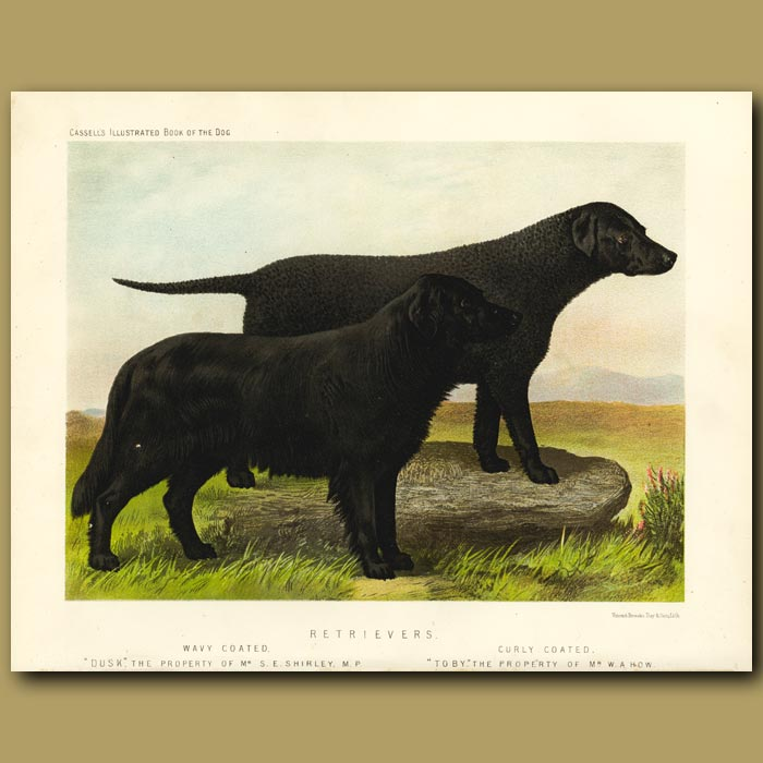 Antique print. Retrievers - Wavy and Curly Coated