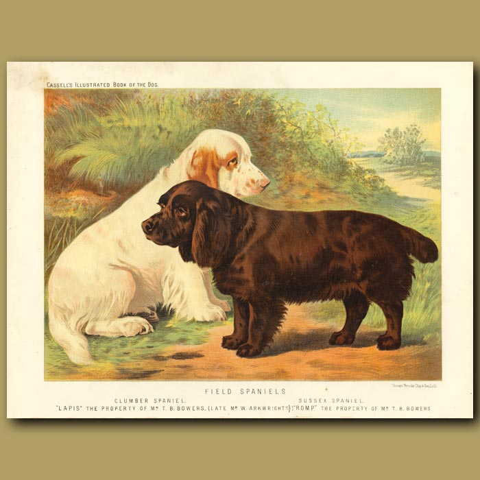 Antique print. Field Spaniels (Clumber and Sussex)