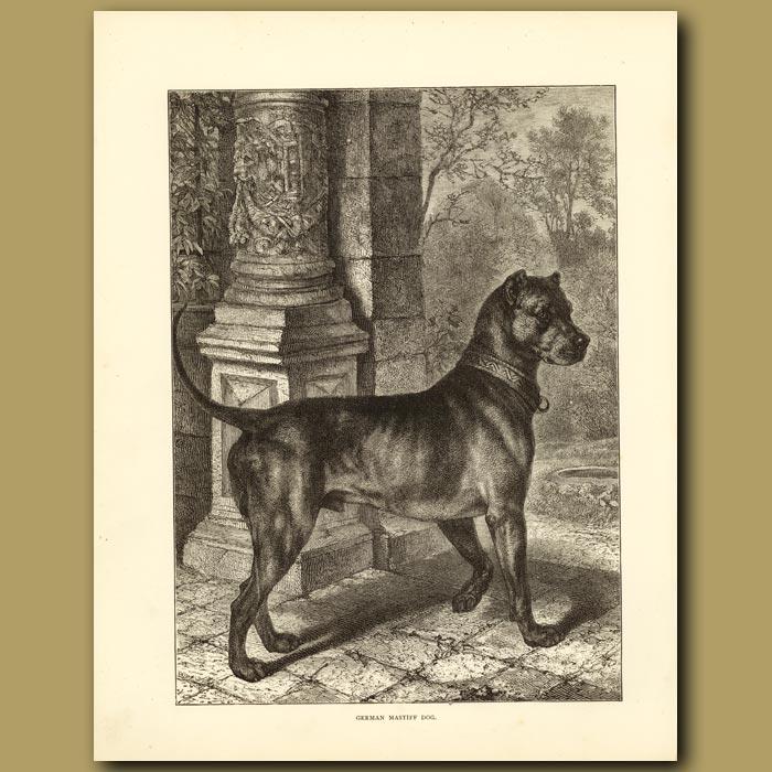 Antique print. German Mastiff Dog