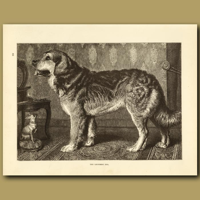 Antique print. The Leonberg Dog