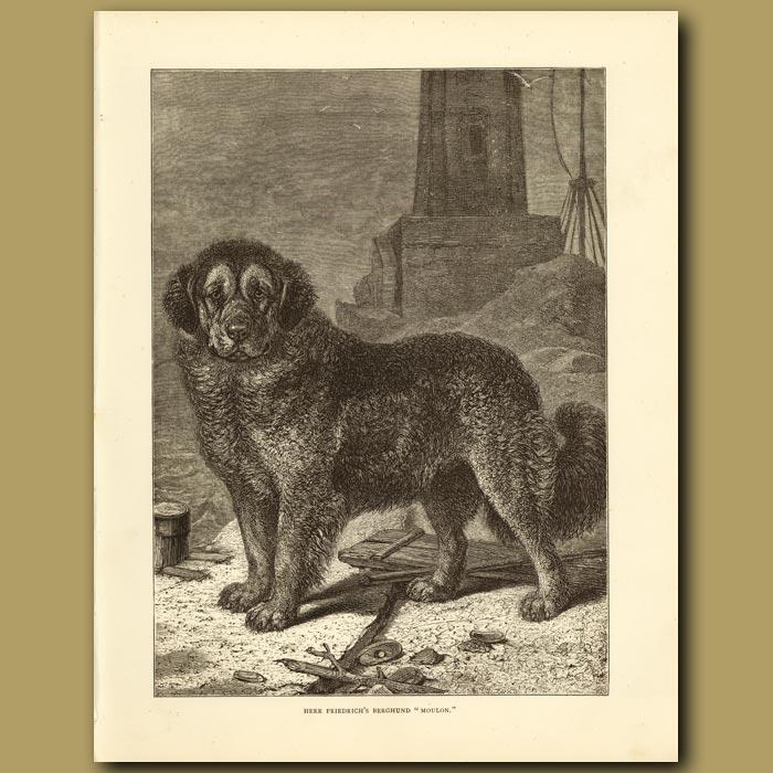 Antique print. Herr Friedrich's Berghund 'Moulon'