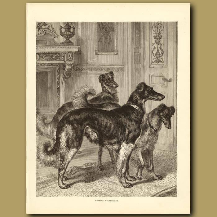 Antique print. Siberian Wolfhounds