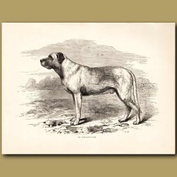 Mastiff dog. Mr Wallace's Turk