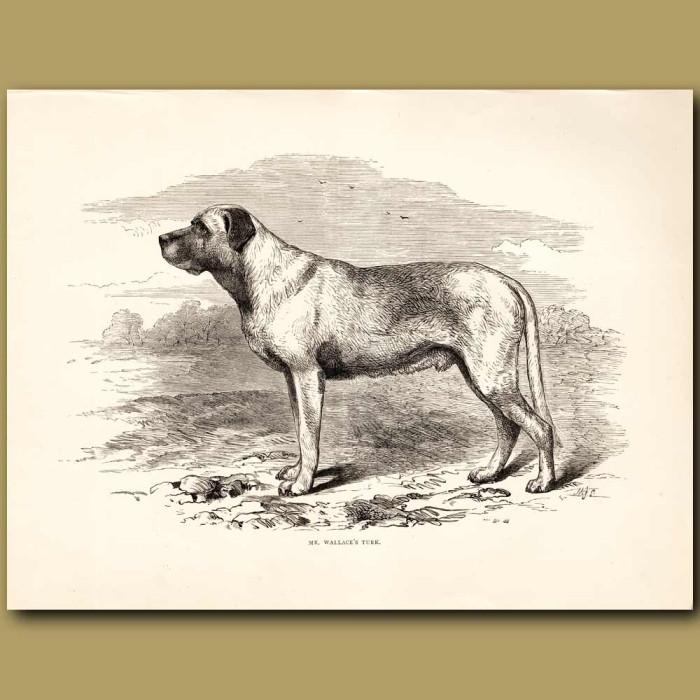 Antique print. Mastiff Dog