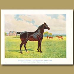 Hackney Pony Stallion, 'Berkeley Model'