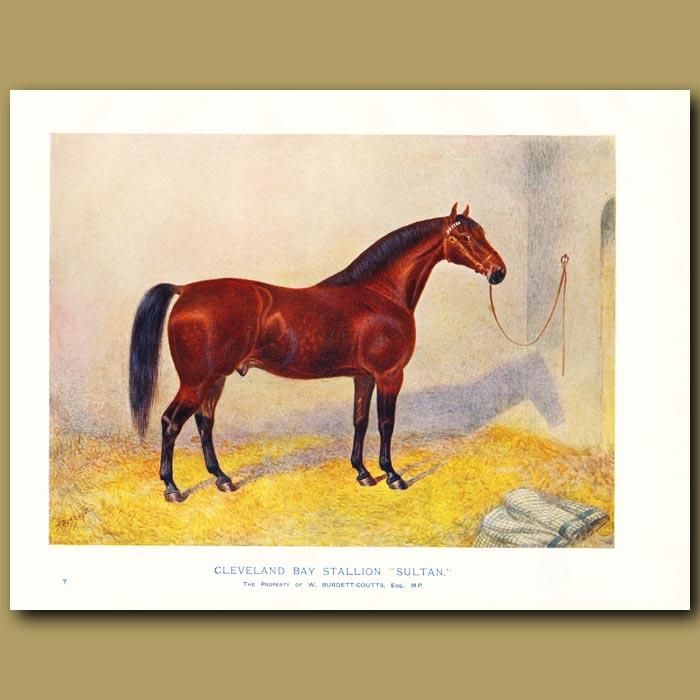 Antique print. Cleveland Bay Stallion, 'Sultan'