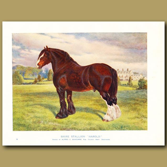 Antique print. Shire Stallion, 'Harold'