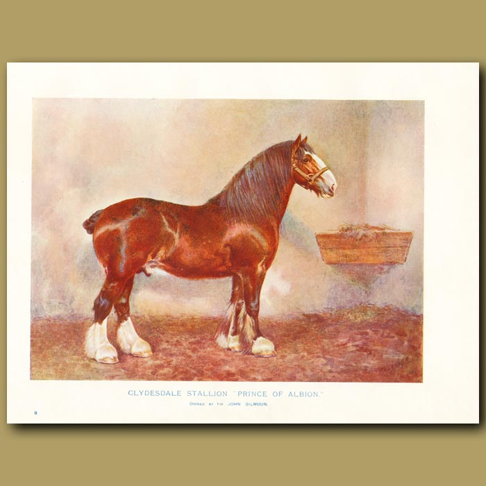 Antique print. Clydesdale Stallion, 'Prince of Albion'