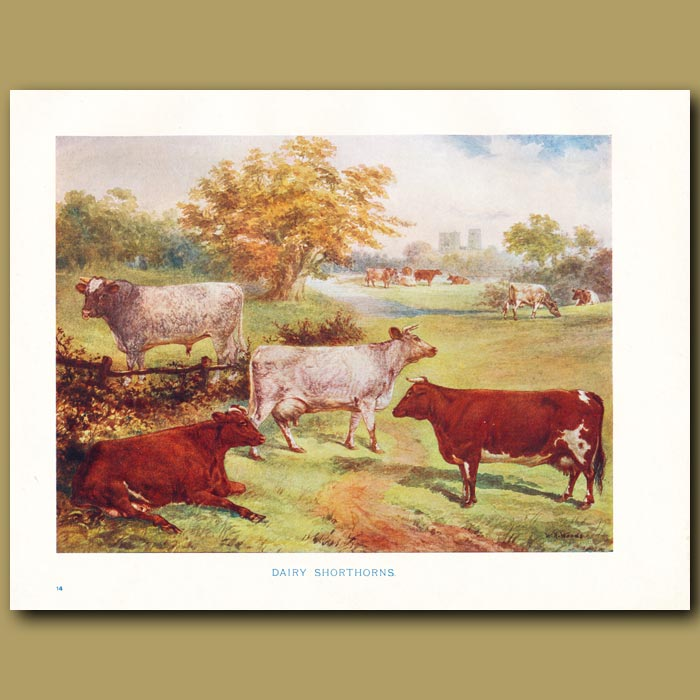 Antique print. Cows: Dairy Shorthorns