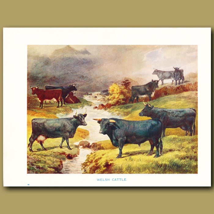 Antique print. Welsh Cattle