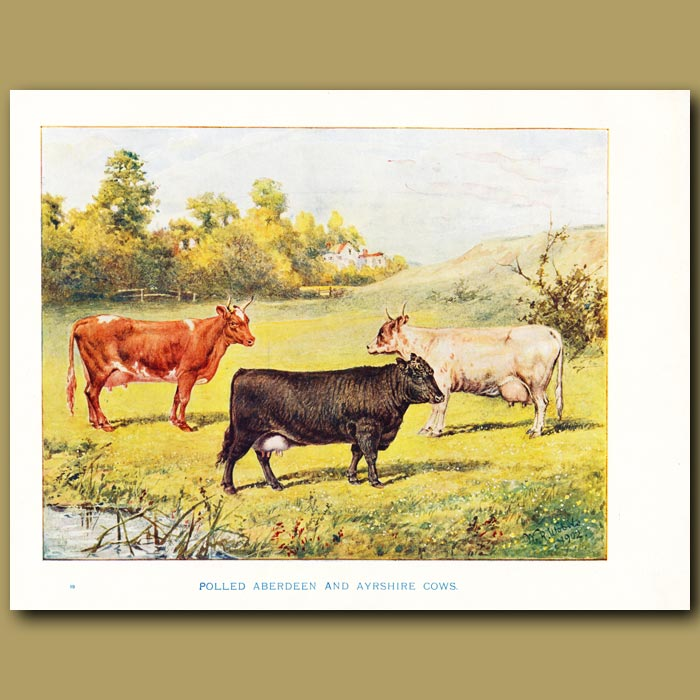 Antique print. Polled Aberdeen and Ayrshire Cows