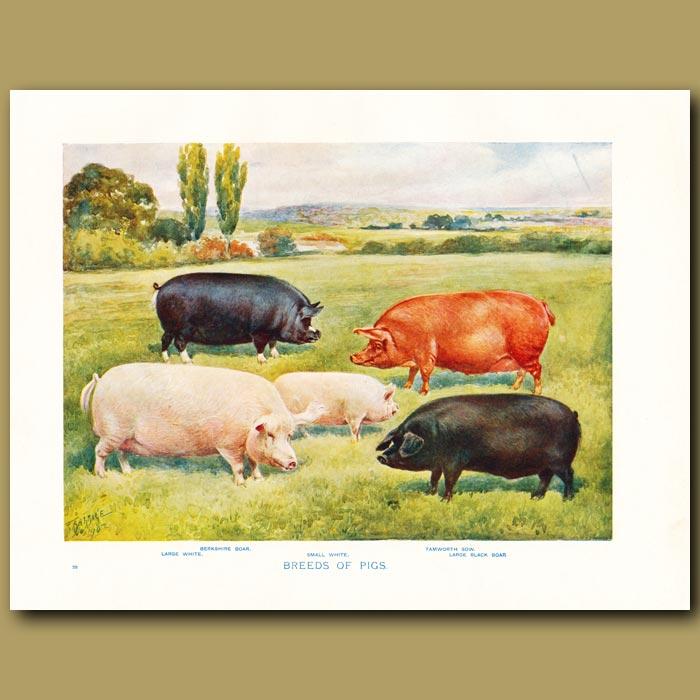 Antique print. Breeds of Pigs